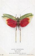 Vellea Cruenta Exotic Orthoptera British Museum Dragonfly Family Postcard - Mariposas
