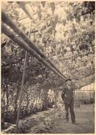 Foto Druivenserre Serre Met Druiven In Zwevezele  Grote Foto  Wingene  Afm 12 X 17,5 Cm      M 2000 - Wingene