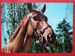 KOV 505-1 - CHEVAL, HORSE, - Chevaux