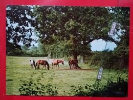 KOV 505-2 - CHEVAL, HORSE - Horses