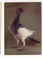 1980 Sroka Angielska Breed Breeding Pigeon Bird Oiseau Animal Vögel Postcard Ansichtskarte Carte Postale - Oiseaux
