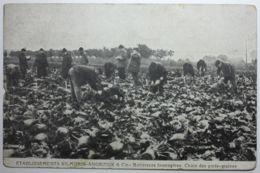 BETTERAVES FOURRAGERES Choix Des Porte-graines (PUB Graines VILMORIN) - Cultures