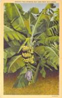 ARBRE Tree - BANANIER - Banana Tree Showing Bud And Fuit In FLORIDA ( USA Etats Unis ) CPA - Bome Boom Albero árbol - Bäume