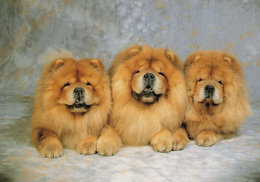 Chows Dogs Chinese Chow Chow Puppy Dog Postcard - Dogs