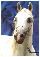 White Horse Head - Cavalli