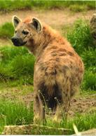 Hyena - Animaux & Faune