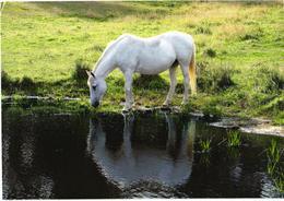 Drinking White Horse - Chevaux