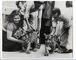 C3397/ Tiger In Kalkutta Auf Dem Weg Zum Flughafen Transport Nach London Foto  - Vecchi Documenti