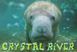 Manatee Crystal River  Fully Aquatic Marine Mammals Somtimes Known As Sea Cows - Sonstige