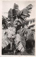 CAMEROUN-BANANIER-REAL PHOTO - Camerun