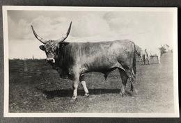 Hungary Hotrobagy/ Stier Photocard/ Ca. 1929 - Hungary