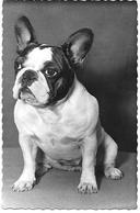 French Bulldog, Bouledogue Français, Französische Bulldogge Photocard - Cani