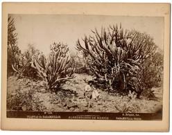C1895 - Mexico - Alrededorès De Mexico - Plantas De Garambullos - Garambulla Trees - N° 124 - Foto A. Briquet - 2 Scans - Foto
