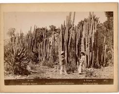 C1895 - Mexico - Alrededorès De Mexico - Plantas De Organos - Organ Cactus Trees - N° 126 - Foto A. Briquet - 2 Scans - Foto