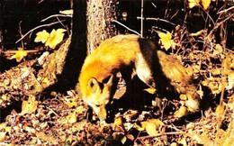 CANADA's Red Fox - Renard - Mint - Non Voyagée - Ed. A. Wilson - Tierwelt & Fauna
