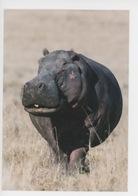 Kenya - Hippopotame - Masaï-Mara (Denis-Huot Photographe) Muséum Le Havre - Hippopotamuses