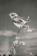 TROGLODYTE MIGNON - Oiseaux