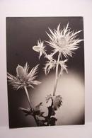 CHARDONS  - Pierre Tairraz  Photographe    - ( Pas De Reflet Sur L'original ) - Flores, Plantas & Arboles