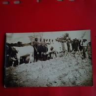 CARTE PHOTO MALI ? BOEUFS AGRICULTURE VILLAGEOIS - Cartes Postales