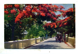 Bahamas : Nassau : Poincina In Shirley Street - Postkaarten