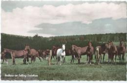 Cheval - Horse - Paard - Pferd - RUF 398 - Pferde