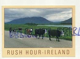 Irlande. Humour. Heure De Pointe. Rush Hour - Ireland. Vaches Sur La Route. Photography Peter O'Toole - Irlande