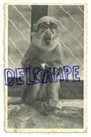 Singe Mangabey. Mangaben Aap. Jardin Zoologique De Spa. 1953 - Monkeys