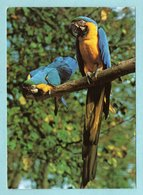 CP Animaux - Blue And Gold Macaw At The Jersey Wildlife -- Ara Bleu Et Or - Birds