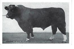 """44 - Ste LUCE - T.B. Vue Du Taureau """"LOUJOU """" - Union Coop. D'élevage / Inséminat. Artific. De LOIRE ATLANTIQUE - France"""
