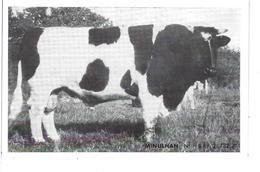 """44 - Ste LUCE - T.B. Vue Du Taureau """"MINULHAN """" - Union Coopérat. Agric. D' Elevage/Inséminat. Artific. Loire Atlantique - France"""
