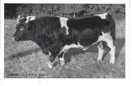 """44 - Ste LUCE - T.B. Vue Du Taureau """" KAKI """" - Union Coop. Agricoles Elevage/Inséminat. Artific. De LOIRE ATLANTIQUE - France"""