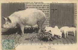 Douai Ecole Pratique D'Agriculture De Wagnonville Cochons Race Yorkshire Truie Et Porcelets RV - Douai