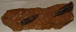 """Rostres De Bélemnite """"les Jumeaux..."""" - Fossils"""