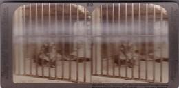 "TIGER, FAMOUS ""MAN - EATER"" AT CALCUTTA, DEVOURER OF 200 MEN, INDIA. STEREOSCOPIC PHOTO CIRCA 1900's -LILHU - Stereoscopic"