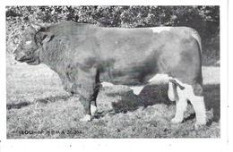 """44 - Ste LUCE - T.B. Vue Du Taureau """" IBOU """" - Union Coop. Agricole /Inséminat. Artific. De LOIRE ATLANTIQUE - France"""