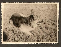 PHOTO ORIGINALE - CHIEN BERGER ALLEMAND - GERMAN SHEPHERD DOG - PERRO PASTOR ALEMÁN - CANE DI PASTORE TEDESCO - Photos