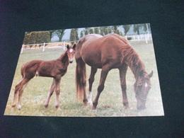 CAVALLO HORSE CABALLO  CAVALLI Puledro FATTRICE PASCOLO ALL'ANZOLA SCUDERIA ORSI MANGELLI LE BUDRIE S. G. PERSICETO BO - Cavalli