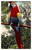 Scarlet Macaw - Birds