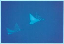 0953 - MICRONESIA - POHNPEI - ANIMAL - FISH - EAGLE RAYS - Micronésie