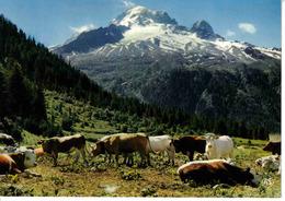 74 Environs De Chamonix N°2300 ARGENTIERES Troupeau De Vaches Au Pied De L'Aiguille Verte Et Du Dru VOIR DOS - Chamonix-Mont-Blanc