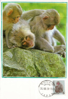 Singes Des Neiges (Snow Monkeys) Region De Nagano.Japon (belle Carte-maximum) - Monkeys