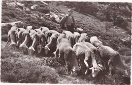 34 : SAINT-PONS-de-THOMIERES : Berger Et Ses Moutons : Le Pays De Thomiéres - Sur Le Sommeil - Agriculture - - Saint-Pons-de-Thomières