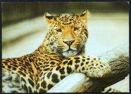 C5923 - TOP Dresden Zoo Tierpark Zoologischer Garten - Leopard - Altri