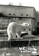 ZOO Dvur Kralove, CZ - Polar Bear (Ursus Maritimus) - Tchéquie