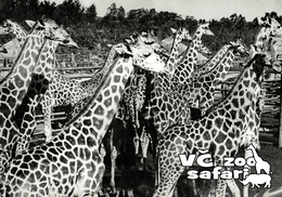 ZOO Dvur Kralove, CZ - Nubian Giraffe (Giraffa Camelopardalis Camelopardalis) - Tchéquie