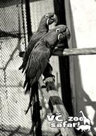 ZOO Dvur Kralove, CZ - Hyacinth Macaw (Anodorhynchus Hyacinthinus) - Tchéquie