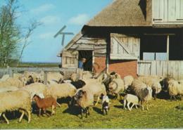 Drouwen - Het Drouwenerzand - Drentse Schaapskudde  [AA48-7.857 - Ohne Zuordnung