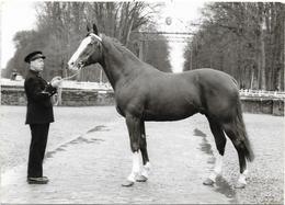 CPSM - Format 10,5 X 15 Cm - HARAS DU PIN (61) - NOROIT Etalon De Pur Sang Anglo-Arabe - Horses