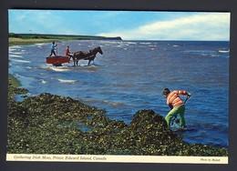 Gathering Irish Moss - Seaweed -  Prince Edward Island PEI Canada - Ile Du Prince-Édouard