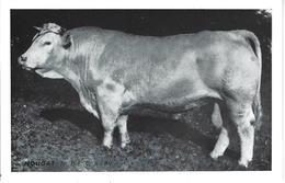 """44 - St LUCE - T.B. Vue Du Taureau """"NOUGAT """" - Institution Agricole /Elevage Inséminat. Artific. De LOIRE ATLANTIQUE - France"""